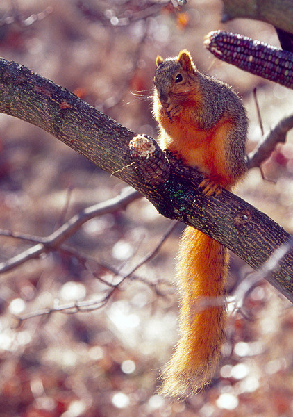 Richly colored, bushy tailed Fox Squirrel - fine art photograph