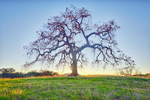 Southern California bare oak tree landscape photograph.