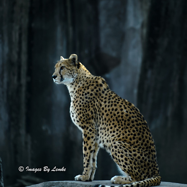cheetah Profile one