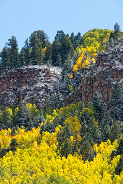 Lava flow of yellow aspens coming off a snow covered cliff