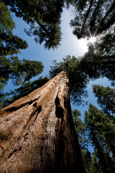 Looking up a giant sequoia