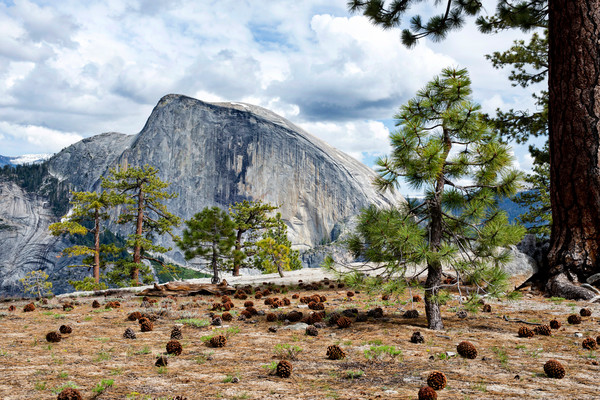 Large ponderosa pine cones dot the ground amoungst the trees with Half Dome as the backdrop.