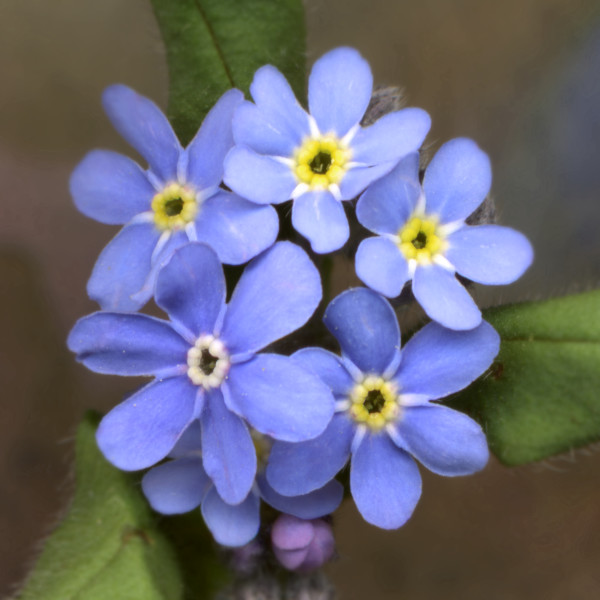 Forget Me Nots - Blue flowers photograph for sale as fine art prints