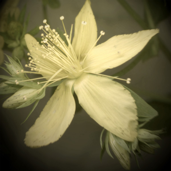 St John's Wort Flower - scanner photography for sale as fine art prints