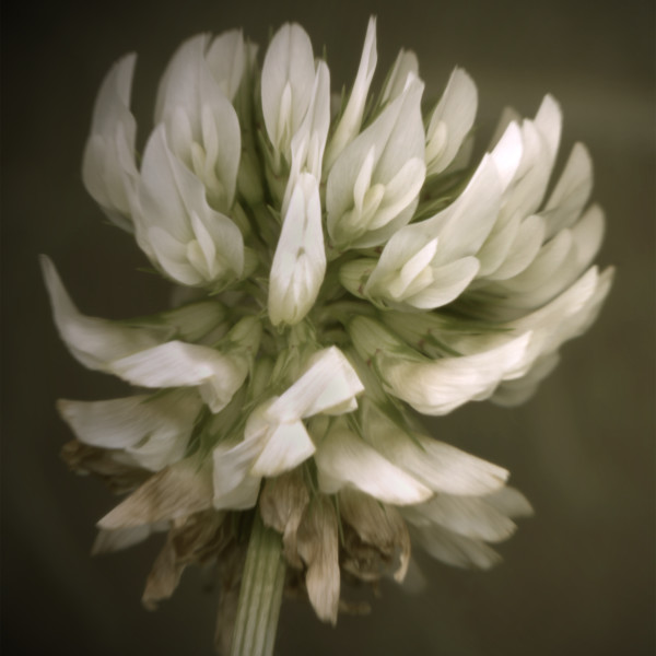 White Clover Blossom - floral scanner photography for sale as fine art prints