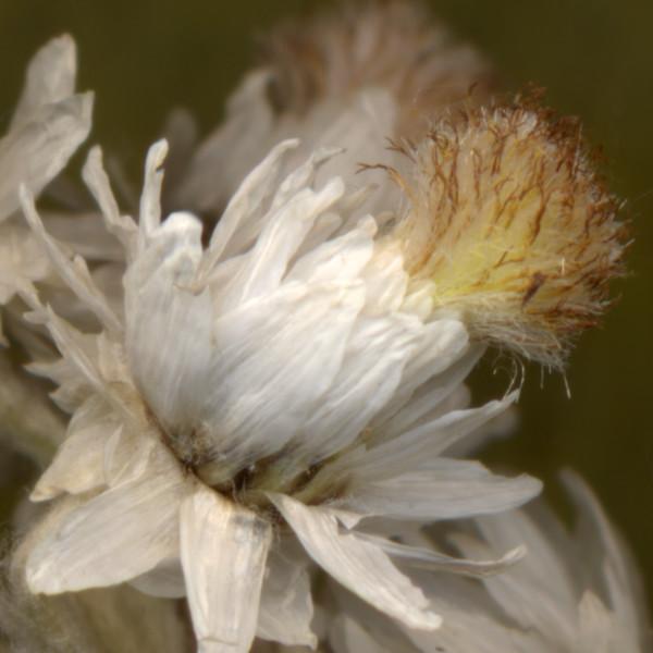 Sweet Everlasting Bloom - floral scanner photography for sale as fine art prints