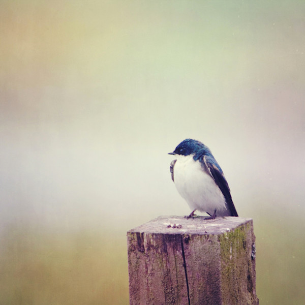 Swallow at Rest Photograph - for sale as fine art prints