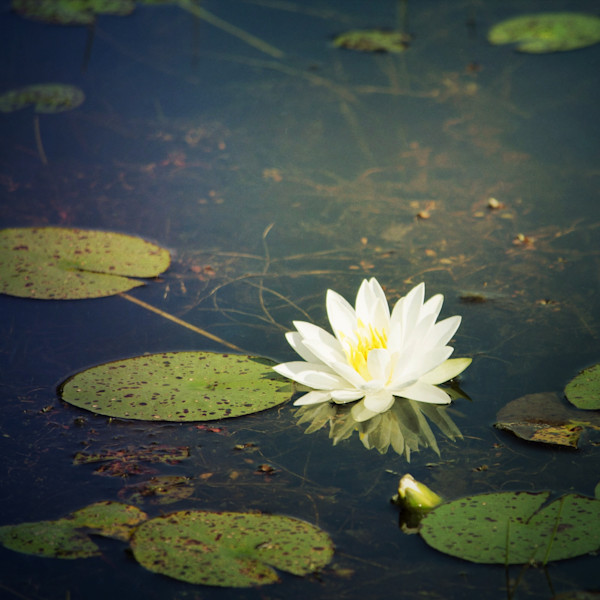 White Water Lily Photograph - for sale as fine art prints