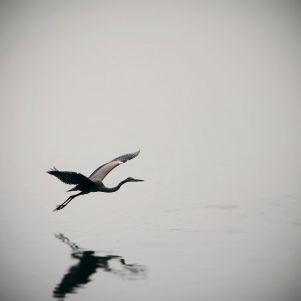 Blue Heron in Flight photograph - for sale as fine art prints