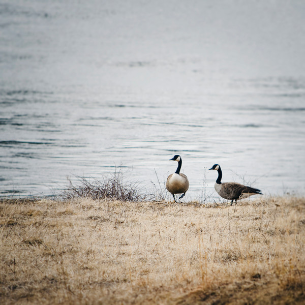 Winter Geese Photograph - for sale as fine art prints