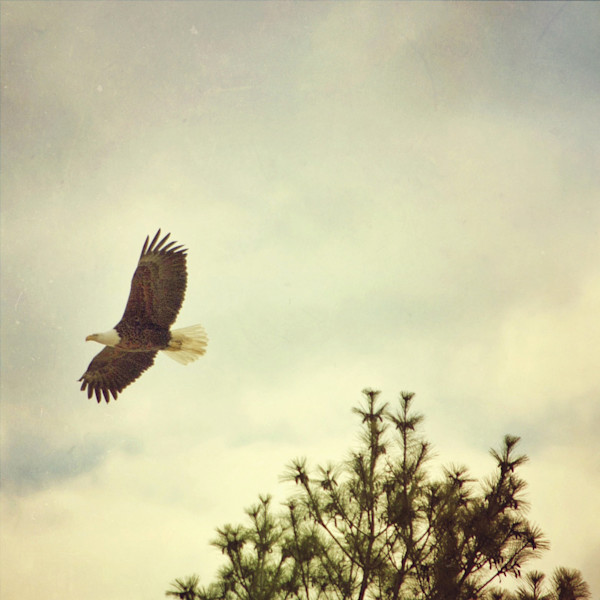 Soaring Bald Eagle Photograph - for sale as fine art prints