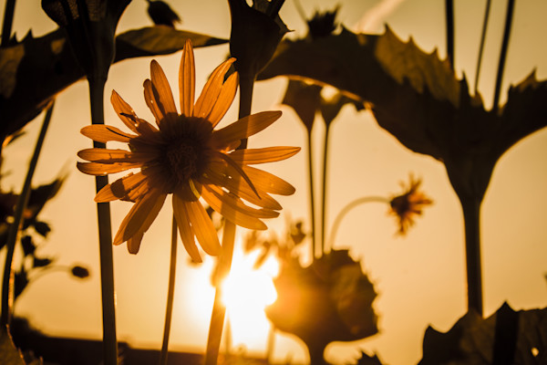 Wildflower Sunset Photograph for Sale as Fine Art
