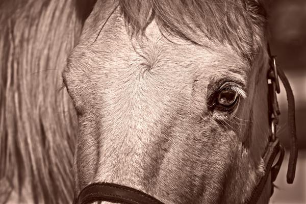 Civil War Pony Vintage Closeup Sepia  Realistic Historic fleblanc