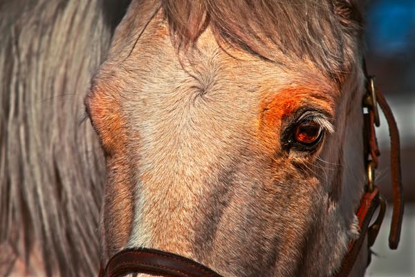 Civil War Pony Macro Closeup Head|Wall Decor fleblanc
