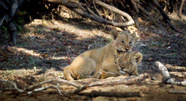 Lion Siblings, South Africa