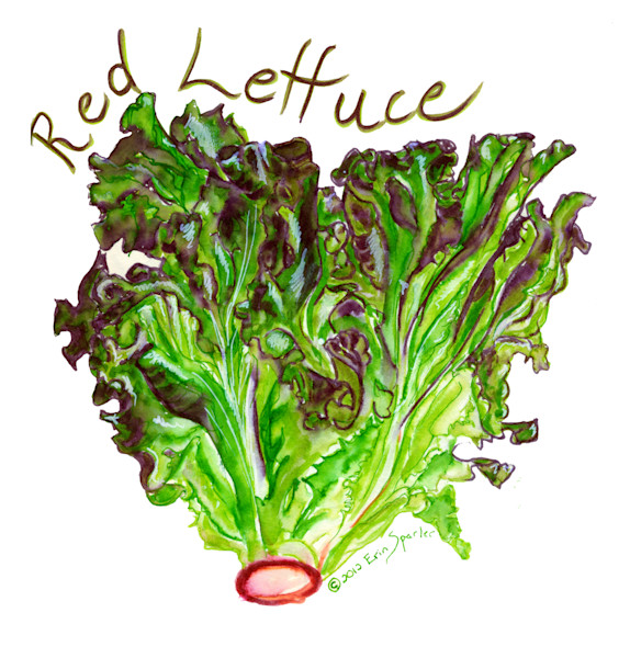 Watercolor painting head red lettuce