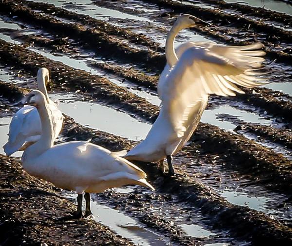 Trumpeter Swan in Mud Bath