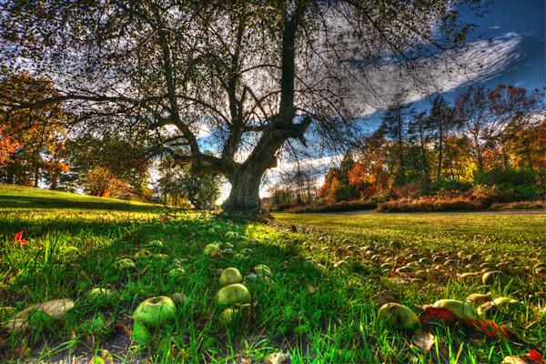 Beacon Apple Tree