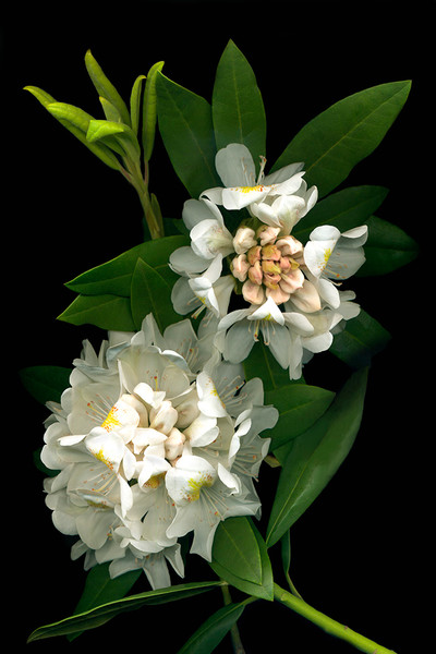 In Kathy's Rhodies, artist Vinette Varvaro highlights a pure white rhododendron, emphasizing the brilliant white of the petals and the delicate stamens against its deep green leaves.
