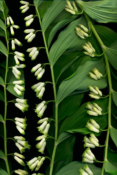 Vinette Varvaro's King Solomon's Seal #3 depicts three vertical rows of the little belle shaped blossoms.