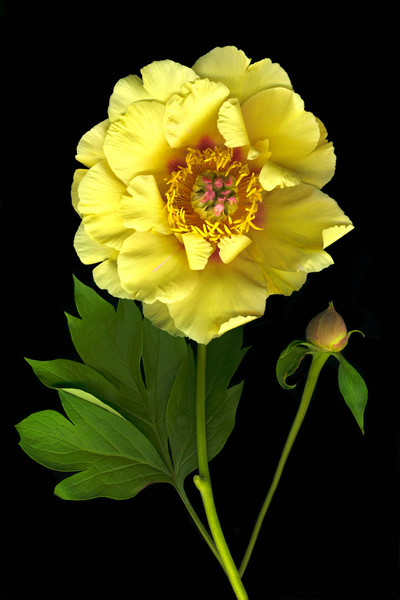 A beautiful yellow peony blossom's petals encircle its stunning center in this stunning image by Vinette Varvaro.