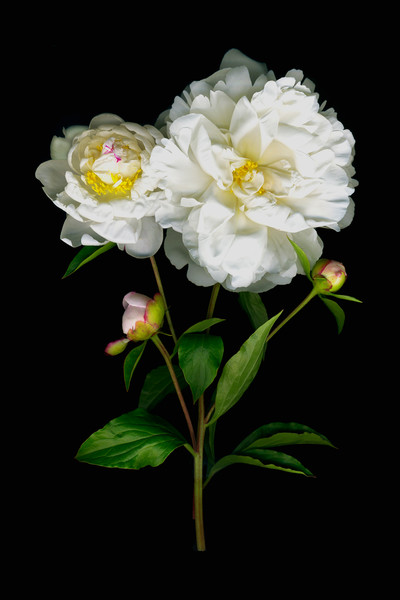 These luscious white peony blossoms are brilliant against a black velvet background in White Peony by artist Vinette Varvaro.