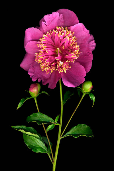 A ring of yellow edged vivid pink petals is the gorgeous focal point of this Fuchsia Peony by artist Vinette Varvaro.