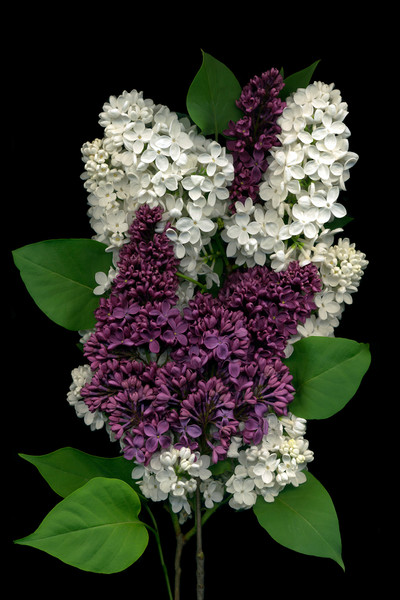 Artist Vinette Varvaro captures the contrast between these two sumptuous lilac blossoms--one bright white and one deep purple in Madame Floret Stepman and Mrs. W.E. Marshall, two rare lilacs.