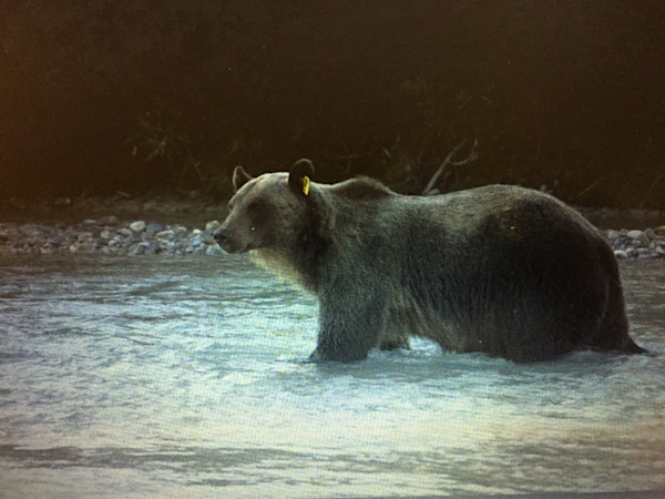 Lake Louise grizzly