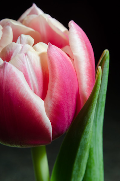 Pink and White Tulip Limited Edition Signed Fine Art Nature Photograph by Melissa Fague