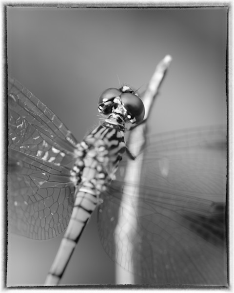 Dragonfly at Bombay Hook in Black and White Limited Edition Signed Insect Photograph by Melissa Fague