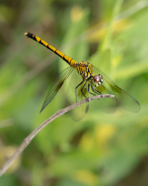 Dragonfly Limited Edition Signed Insect Photograph by Melissa Fague
