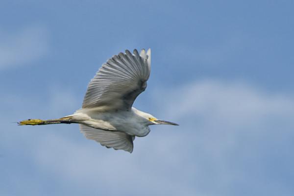 Egret in Flight Fine Art Wildlife Photography Print