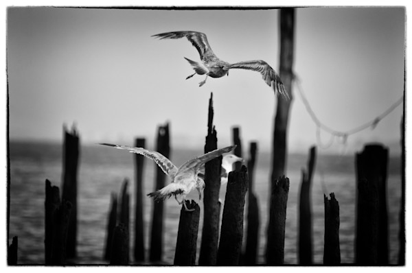 Flying Sea Gull Limited Edition Signed Fine Art Wildlife Photography Print by Melissa Fague
