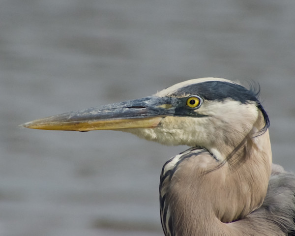 Great Blue Heron Limited Edition Signed Fine Art Wildlife Photography Print by Melissa Fague