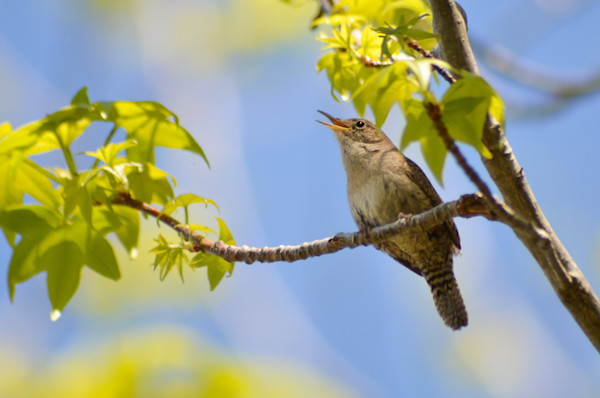 House Wren Limited Edition Signed Wildlife Photograph by Melissa Fague