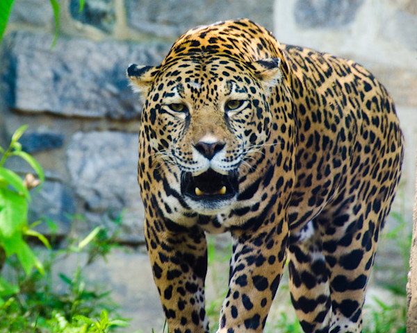Leopard Limited Edition Signed Wildlife Photograph by Melissa Fague