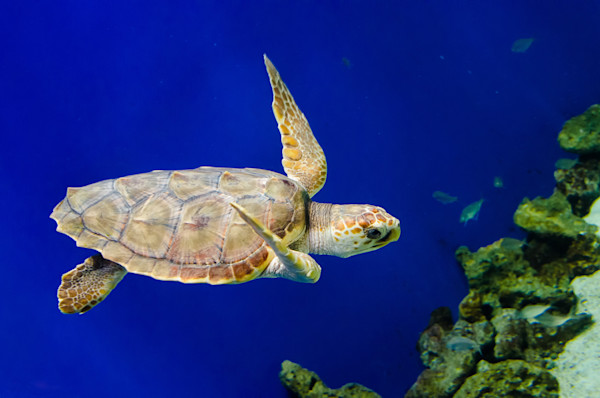 Sea Turtle 1 Limited Edition Signed Wildlife Photograph by Melissa Fague