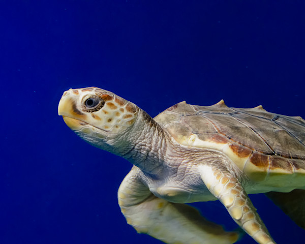 Sea Turtle 2 Limited Edition Signed Wildlife Photograph by Melissa Fague