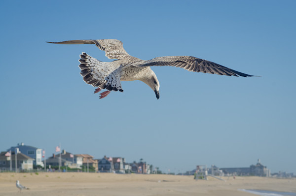 Seagull in Flight Limited Edition Signed Wildlife Photograph by Melissa Fague