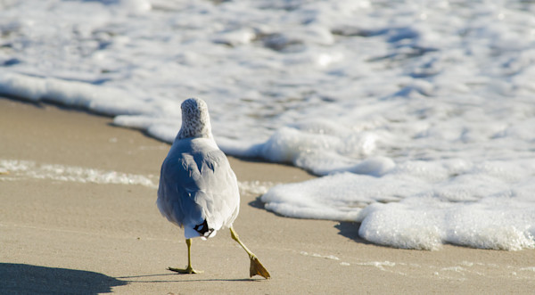Seagull Shuffle Limited Edition Signed Wildlife Photograph by Melissa Fague