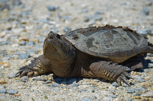 Snapping Turtle Limited Edition Signed Wildlife Photograph by Melissa Fague