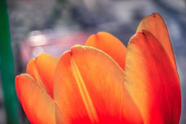 Color of Spring Orange Tulip Macro|Wall Decor fleblanc