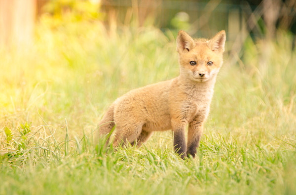 Baby Red Fox in the Sun Wildlife Photography Wall Art Print Wall Art by Nature Photographer Melissa Fague