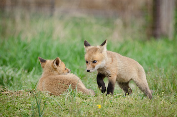 Coming to Get You Limited Edition Signed Fine Art Wildlife Photography Print by Melissa Fague