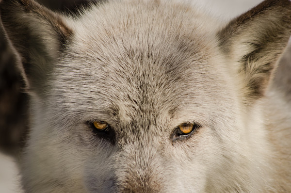 Wolf Eyes Limited Edition Signed Fine Art Wildlife Photography Print by Melissa Fague