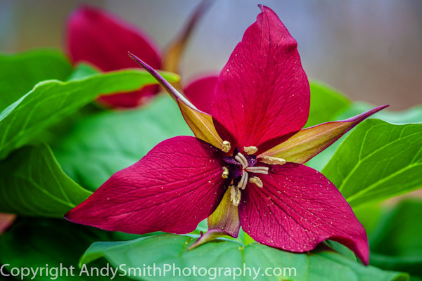 fine art photograph of RedTrillium