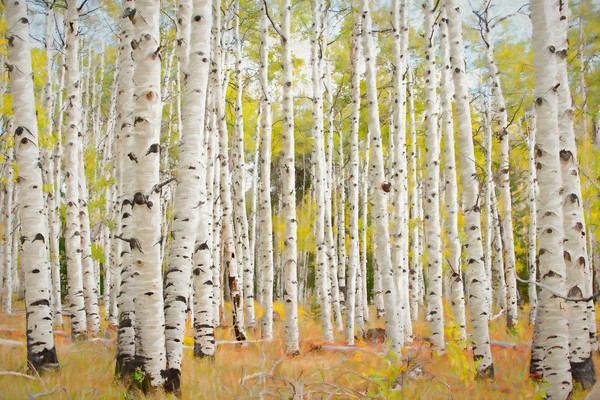 Aspen grove in autumn with painterly effect