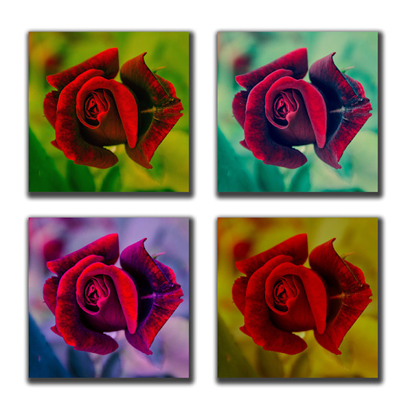 Square Rose Collection 4 Panel Fine Art Nature Photography Print Collection by Melissa Fague
