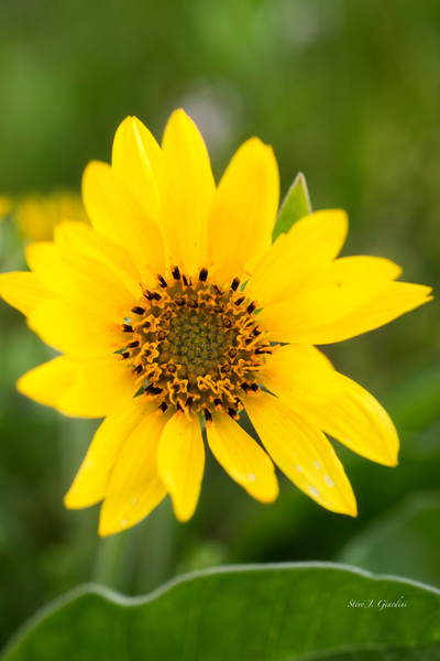 Yellow Sunflower (171651NWND8-P) Photograph for Sale as Fine Art Print